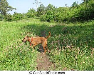 Irish terrier sniffing flowers