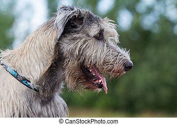 irish wolfhound dog head