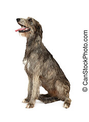 Irish wolfhound dog on a white background
