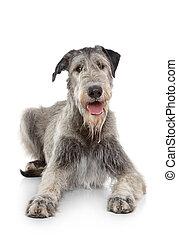 Irish Wolfhound dog on white background
