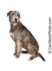 Irish wolfhound dog on white