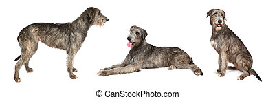 Irish wolfhound dog over white