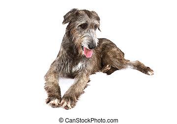Irish wolfhound dog over white