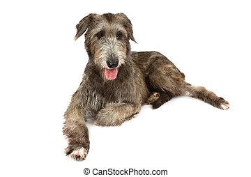 Irish wolfhound dog over white background