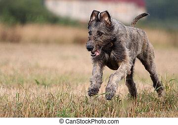 irish wolfhound dog run in field