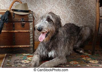 Irish wolfhound indoors