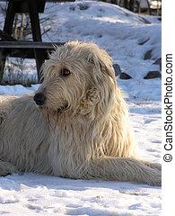 Irish Wolfhound - Irish wolfhound relaxing in snow