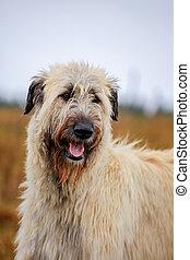 Irish Wolfhound outside