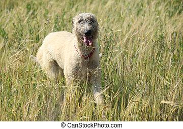 Irish wolfhound running in nature - Beautiful Irish...
