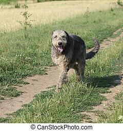 Irish wolfhound running on the path - Beautiful Irish...