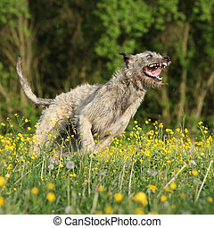 Irish wolfhound smiling and running in yellow flowers in...