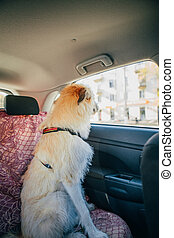 Irish Wolfhound traveling in the car