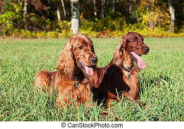 irlandês, cachorros, setter