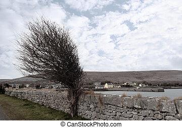 irlandês, windswept, árvore nua