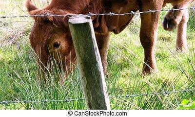 irlande, vache, brun, barrière, derrière