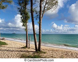 Iron wood tree on the beach in Waimanalo