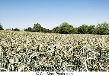 irrealistic wheatfield
