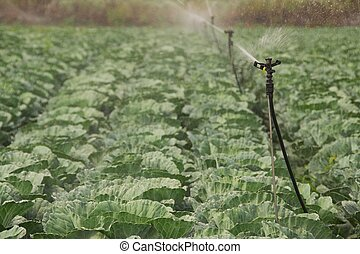 Irrigated Cabbage Field