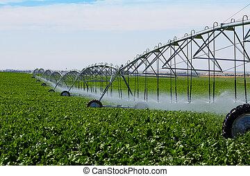Irrigated Turnip Field - An irrigation pivot watering a...