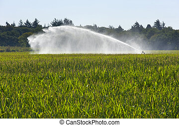 irrigating maize - Irrigating the maize in a period of...