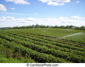 strawberry field - irrigating strawberry field Indian garden...