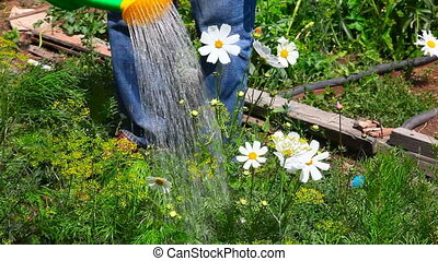 Irrigation. - A man watering flower bed from watering can.