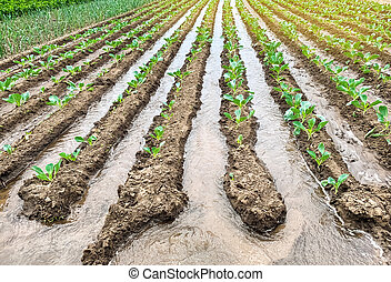 Irrigation cabbage plantations in the field. Traditional natural watering. Eco-friendly products. Agriculture and farmland. Crops. Growing organic vegetables.