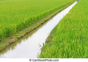 Irrigation canal in the paddy
