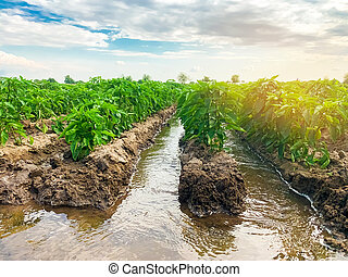 Irrigation of pepper plantations in the field. Traditional natural watering. Eco-friendly products. Agriculture and farmland. Crops. Growing organic vegetables.