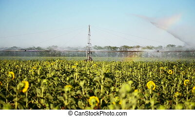 irrigation of the field with rainbow