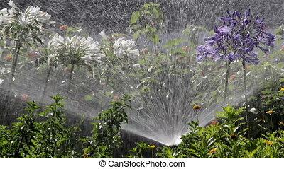 irrigation, parterre fleurs, agapanthus