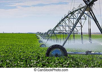 An irrigation pivot watering a field of turnips.
