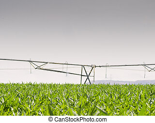 Irrigation pivot in a corn field watered in summer at sunset.