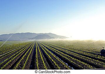 Irrigation - freshly planted field of vegetables being...
