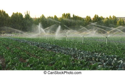 Irrigation systems in a green vegetable garden