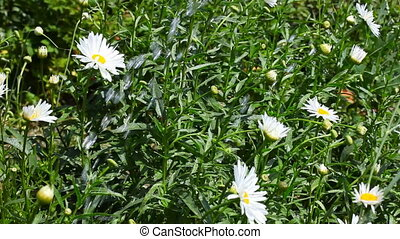 Irrigation. - Watering the beds with chamomile flowers.