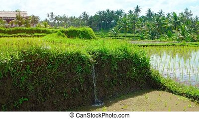 """""""Irrigation Water Filling a Rice Paddy, with Sound"""" - """"Muddy..."""