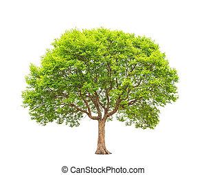 Irvingia malayana also known as Wild Almond, tropical tree ...
