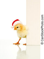 Is it Easter already - confused christmas chicken with message board for text - isolated