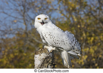 Is this pose OK? - Snowy Owl on his perch against a muted...