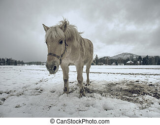 Isabella coloured horses in winter country.