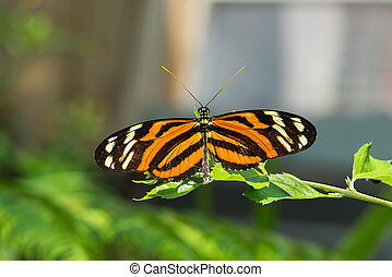 Isabella Longwing Butterfluy - An Isabella Longwing ...