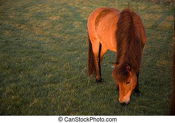 isländisch, pferd