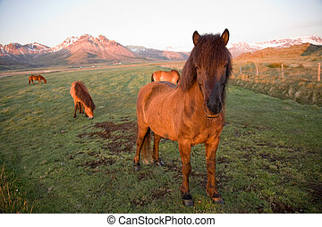 isländisch, pferden