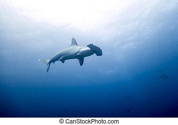 isla, tiburón pez martillo, malpelo