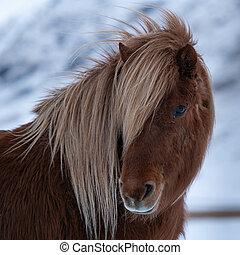 island, caballus, equus, pferd