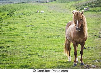 island, pferd