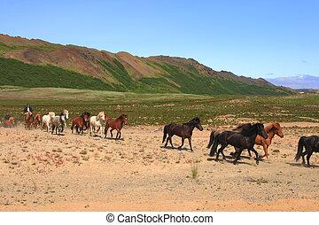 island, pferden