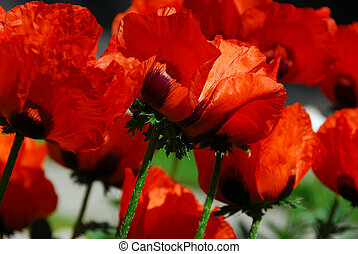 Island poppies close - Big Island poppies growing in a...