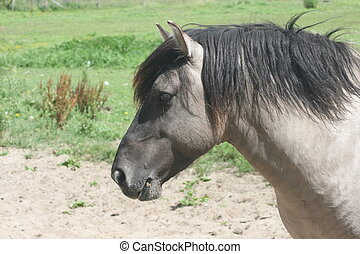 Islandpferd Iceland horse - Portrait shot of a beautiful...